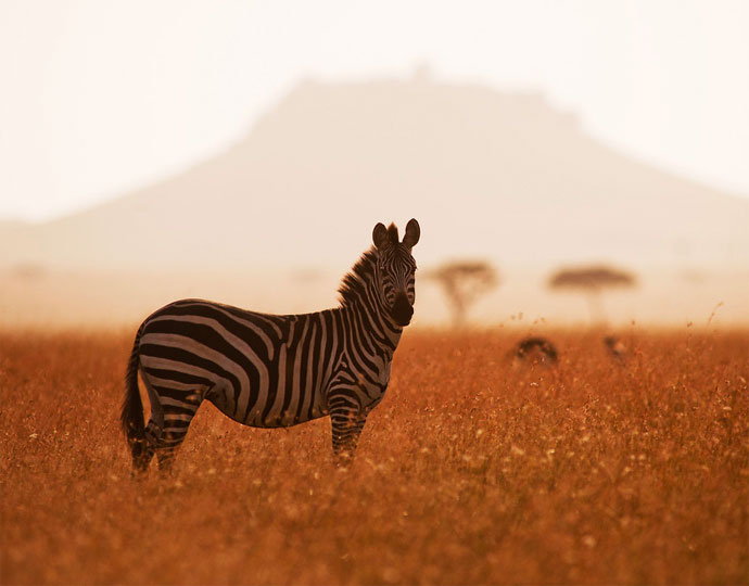 tanzania safaris zebra 1